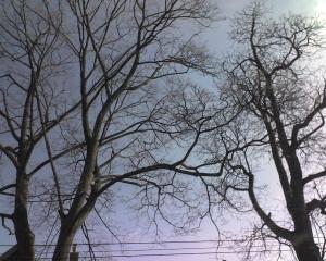 dancewalk trees