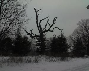 Dead Oak, High Park