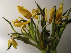dead-tulips